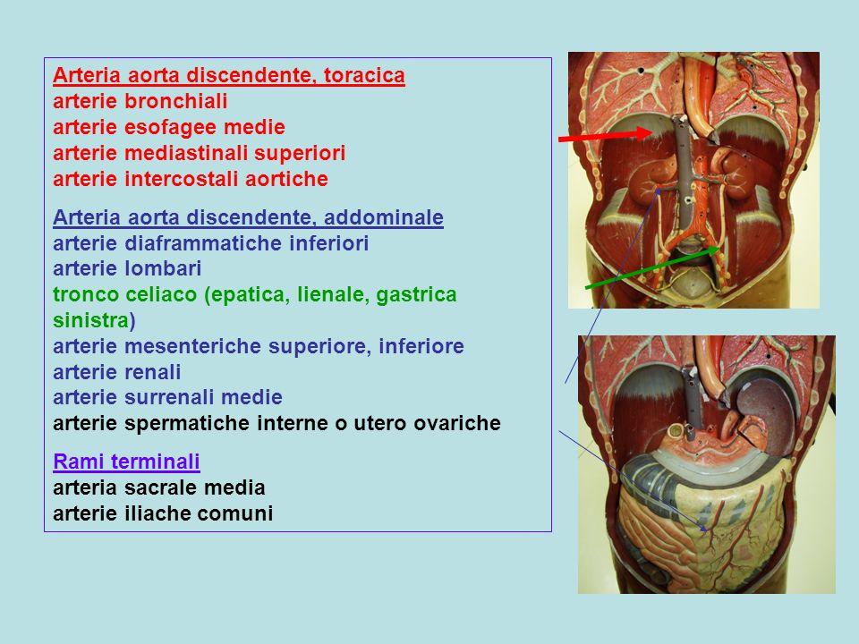 Arteria aorta discendente, toracica arterie bronchiali arterie esofagee medie arterie mediastinali superiori arterie intercostali aortiche