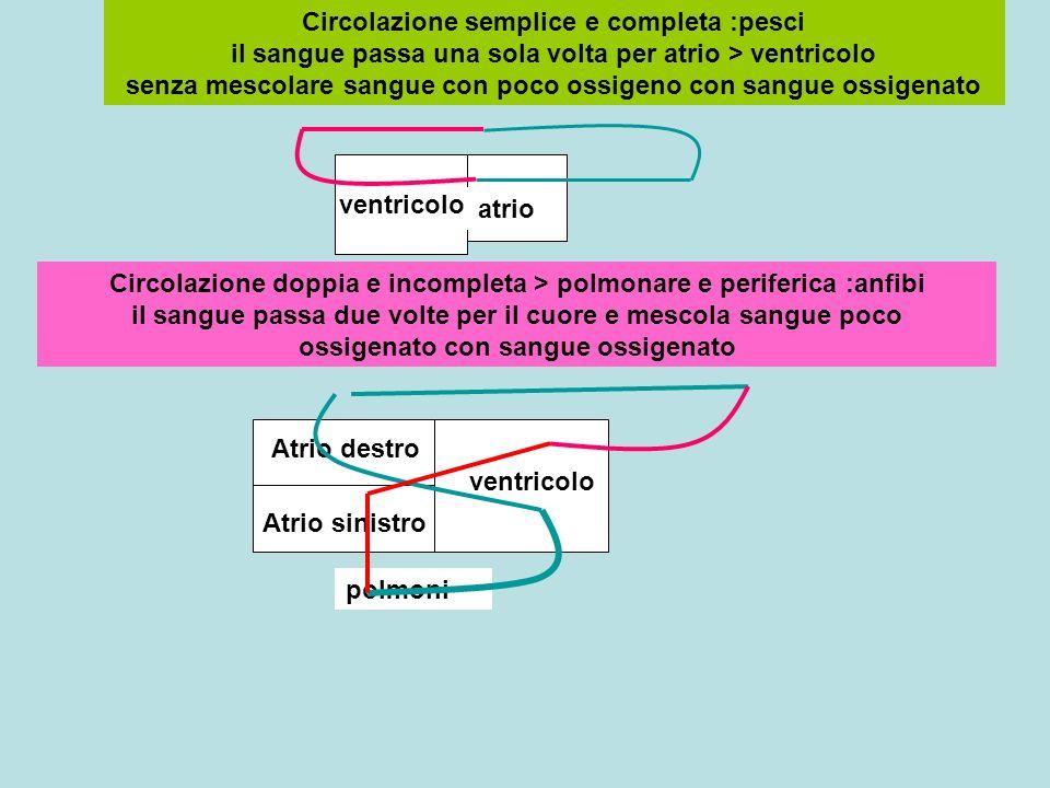 Circolazione semplice e completa :pesci il sangue passa una sola volta per atrio > ventricolo senza mescolare sangue con poco ossigeno con sangue ossigenato