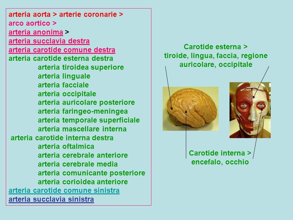 Carotide interna > encefalo, occhio