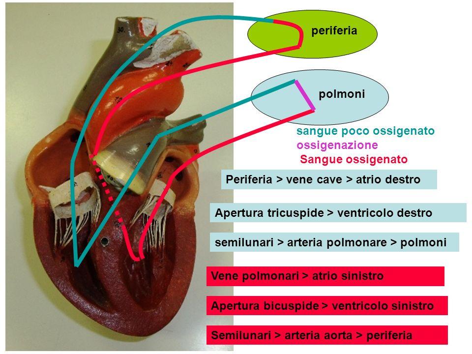 periferia polmoni. sangue poco ossigenato ossigenazione Sangue ossigenato. Periferia > vene cave > atrio destro.