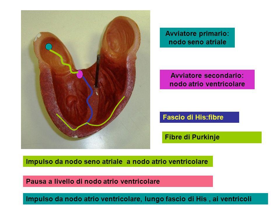 Avviatore primario: nodo seno atriale