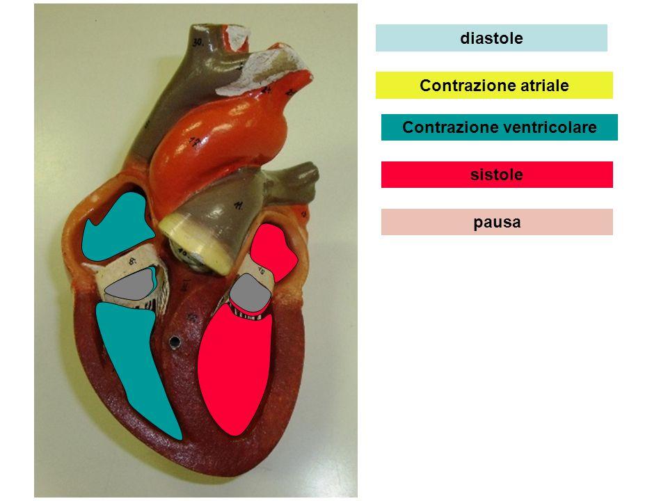 Contrazione ventricolare