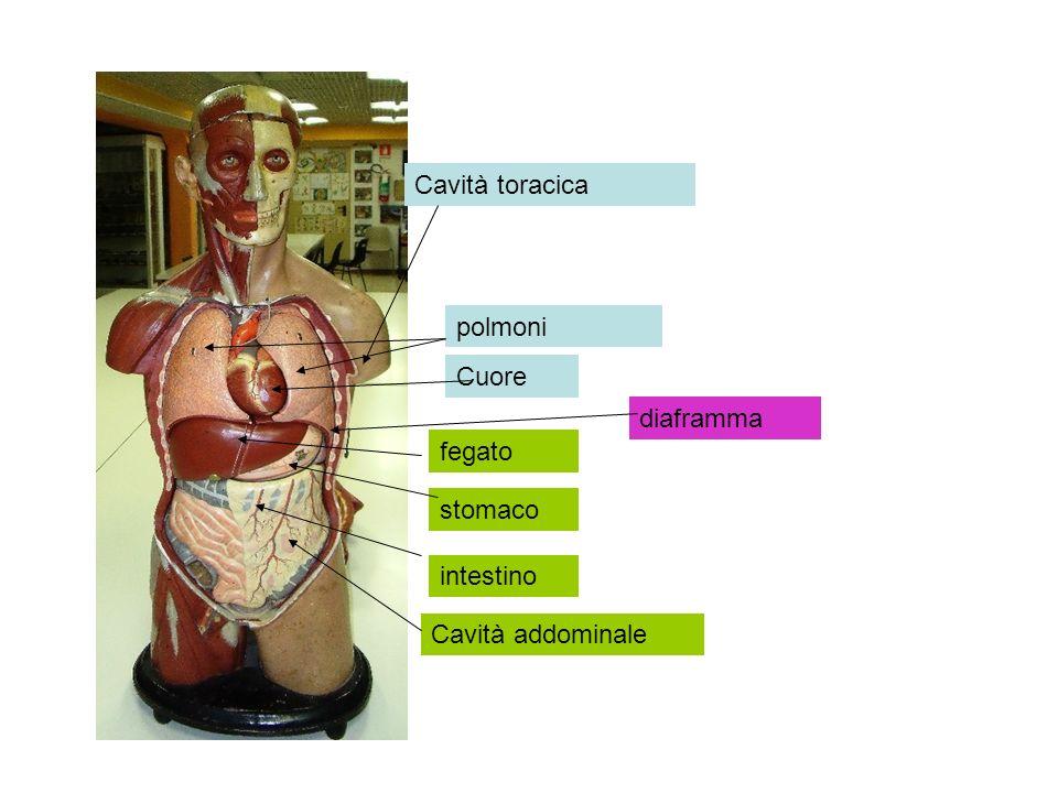 Cavità toracica polmoni Cuore diaframma fegato stomaco intestino Cavità addominale