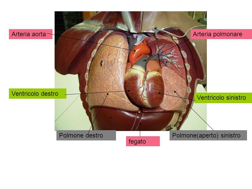 Arteria aorta Arteria polmonare. Ventricolo destro. Ventricolo sinistro. Polmone destro. Polmone(aperto) sinistro.