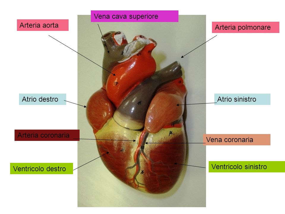 Vena cava superiore Arteria aorta. Arteria polmonare. Atrio destro. Atrio sinistro. Arteria coronaria.