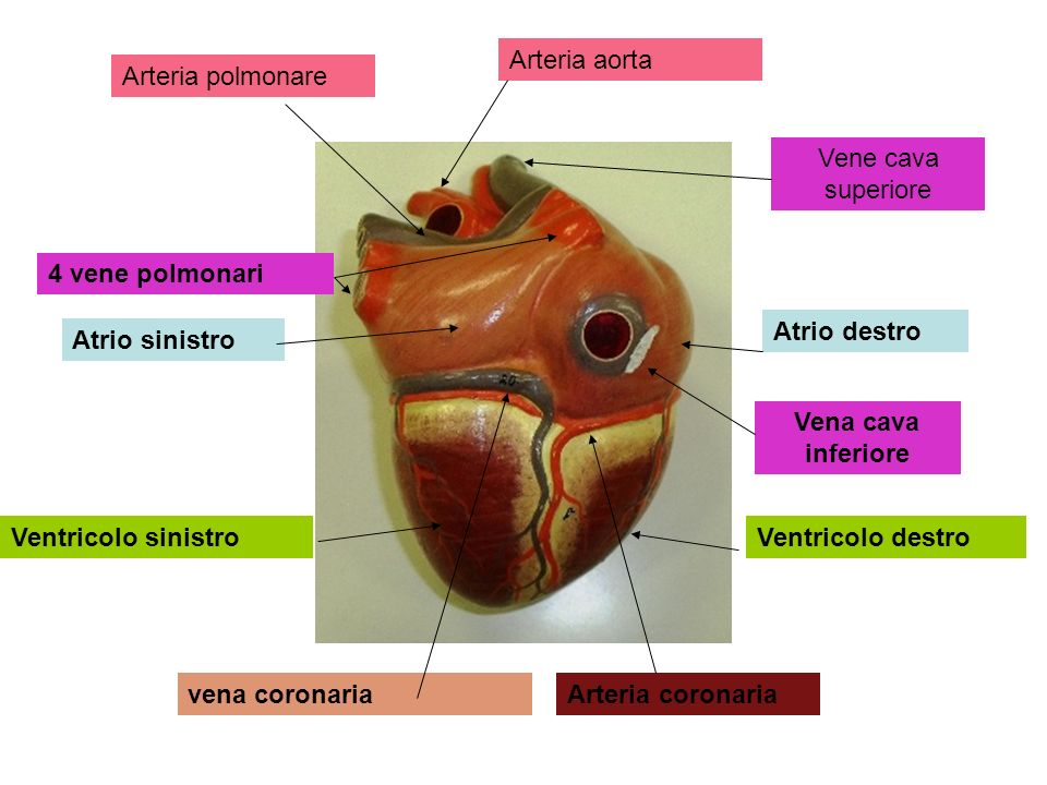 Arteria aorta Arteria polmonare. Vene cava superiore. 4 vene polmonari. Atrio destro. Atrio sinistro.