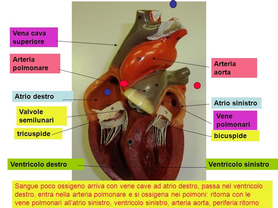Vena cava superiore Arteria polmonare. Arteria aorta. Atrio destro. Atrio sinistro. Valvole semilunari.