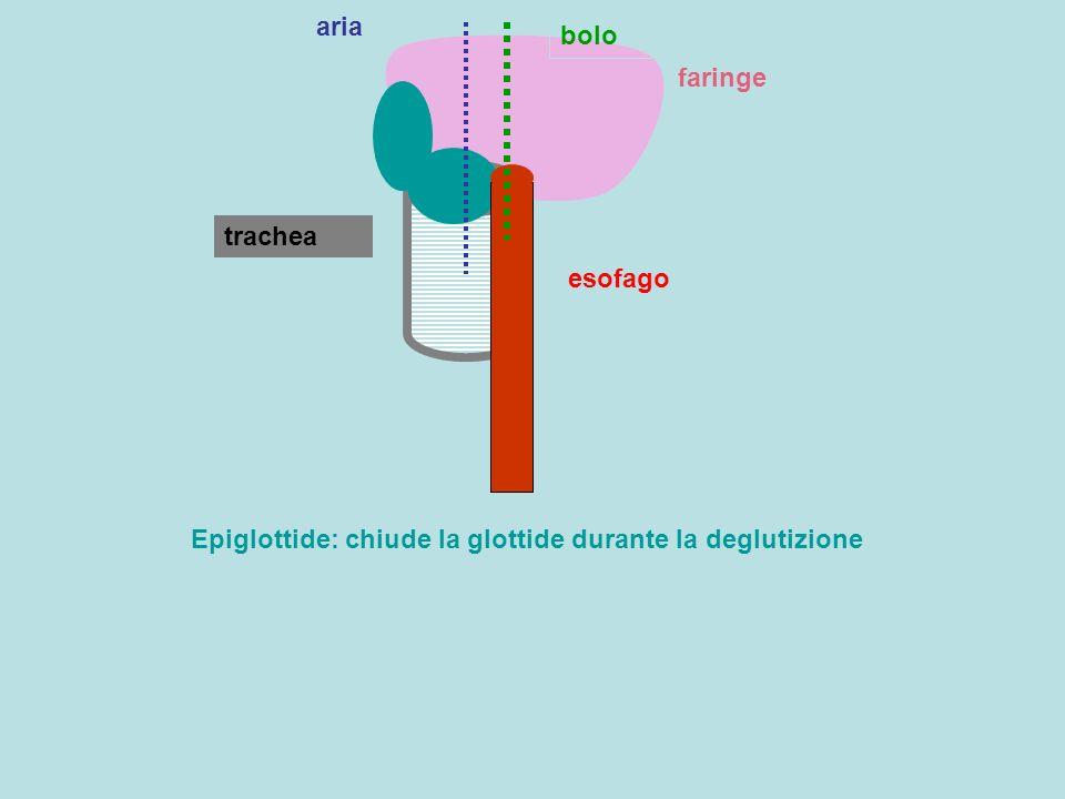 aria bolo faringe trachea esofago Epiglottide: chiude la glottide durante la deglutizione