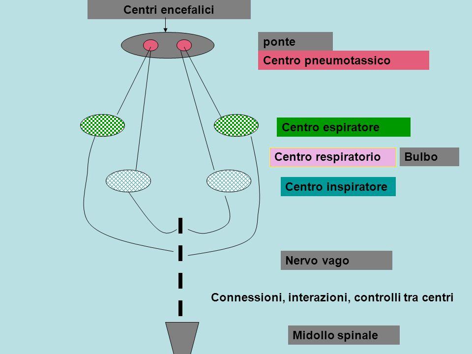 Centri encefaliciponte. Centro pneumotassico. Centro espiratore. Centro respiratorio. Bulbo. Centro inspiratore.