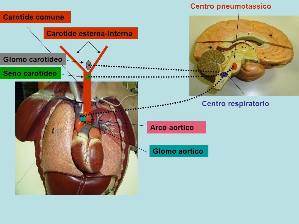 Centro respiratorio Centro pneumotassico. Carotide comune. Carotide esterna-interna. Seno carotideo.