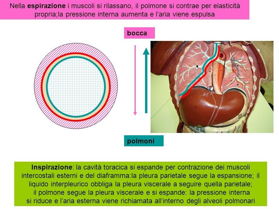 Nella espirazione i muscoli si rilassano, il polmone si contrae per elasticità propria;la pressione interna aumenta e l'aria viene espulsa