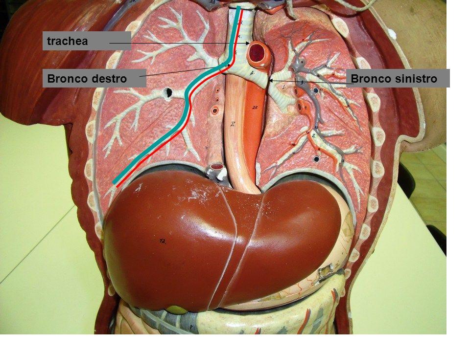 trachea Bronco destro Bronco sinistro