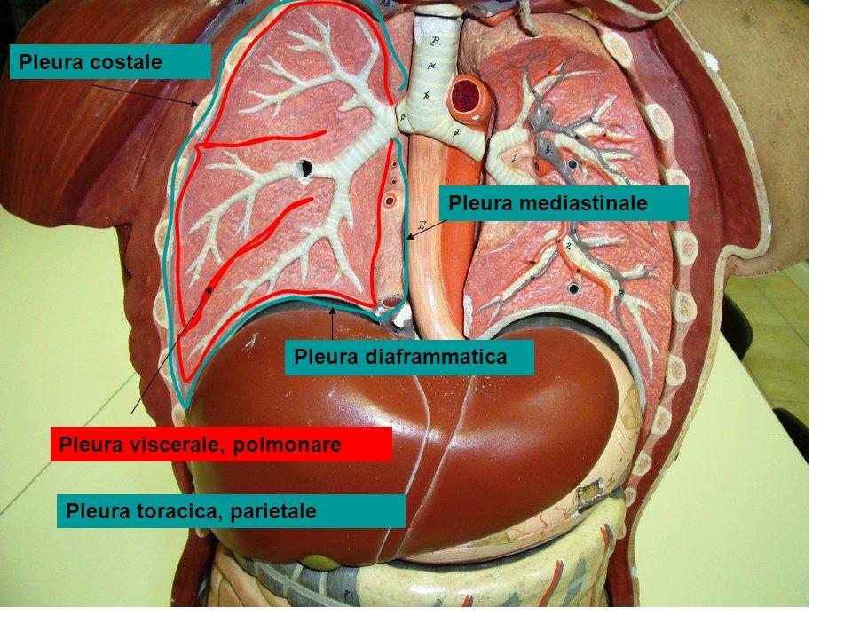 Pleura costale Pleura mediastinale. Pleura diaframmatica.