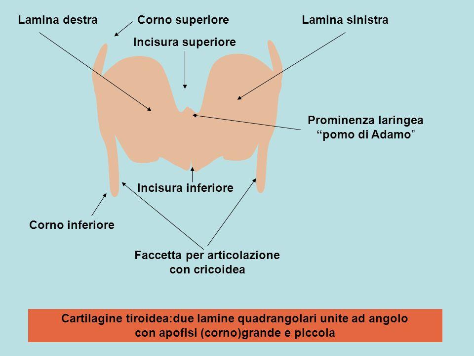 Faccetta per articolazione con cricoidea