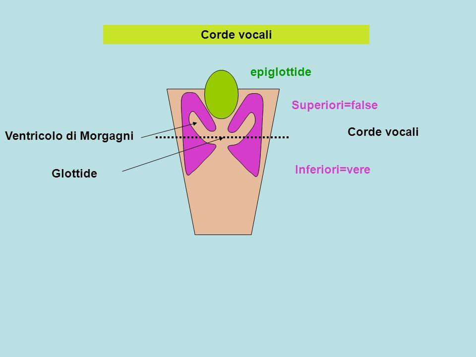 Corde vocali epiglottide. Superiori=false. Corde vocali. Ventricolo di Morgagni. Inferiori=vere.