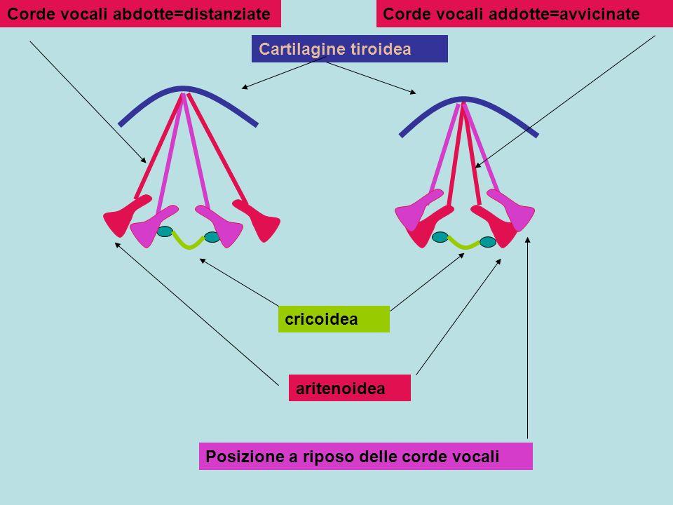 Corde vocali abdotte=distanziate