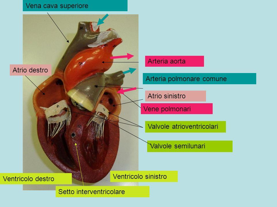 Vena cava superiore Arteria aorta. Atrio destro. Arteria polmonare comune. Atrio sinistro. Vene polmonari.