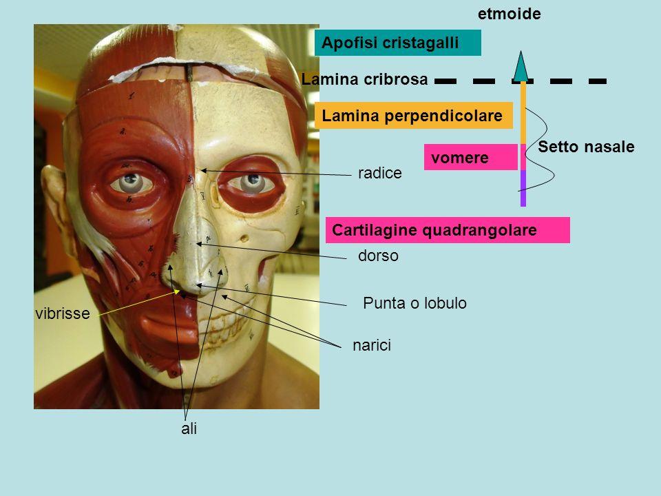 etmoide Apofisi cristagalli. Lamina cribrosa. Lamina perpendicolare. Setto nasale. vomere. radice.