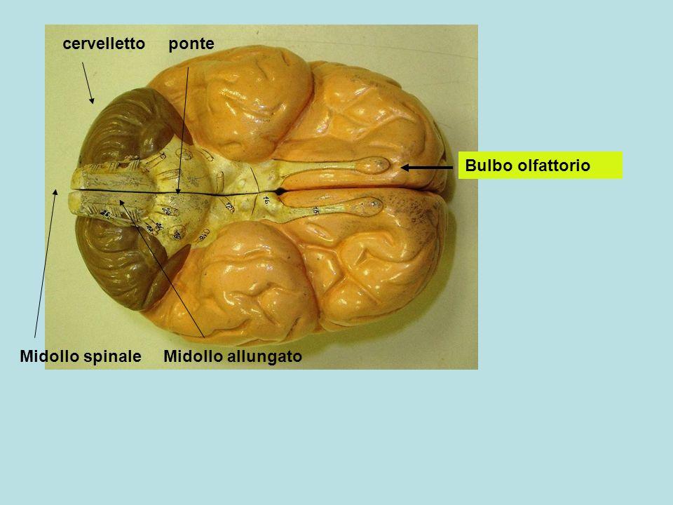 cervelletto ponte Bulbo olfattorio Midollo spinale Midollo allungato