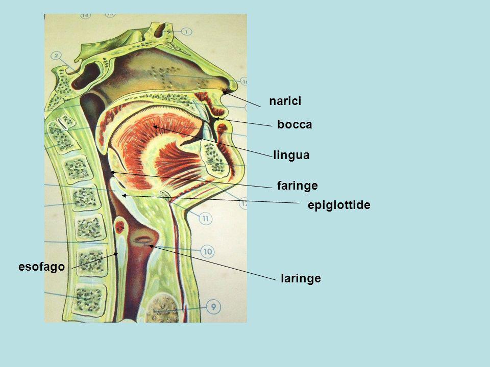 narici bocca lingua faringe epiglottide esofago laringe