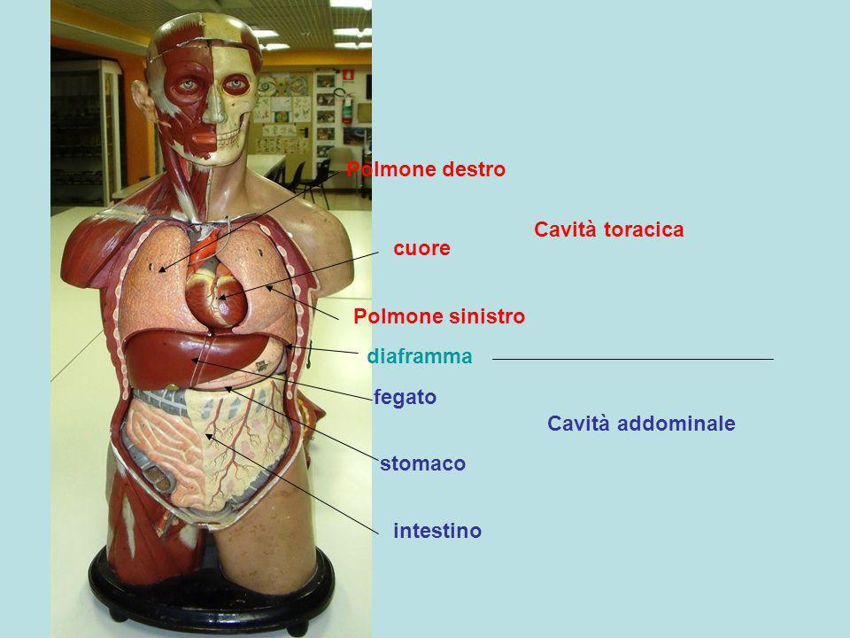 Polmone destro Cavità toracica. cuore. Polmone sinistro. diaframma. fegato. Cavità addominale.