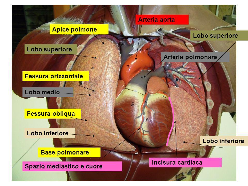 Arteria aorta Apice polmone. Lobo superiore. Lobo superiore. Arteria polmonare. Fessura orizzontale.