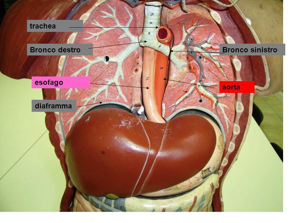trachea Bronco destro Bronco sinistro esofago aorta diaframma