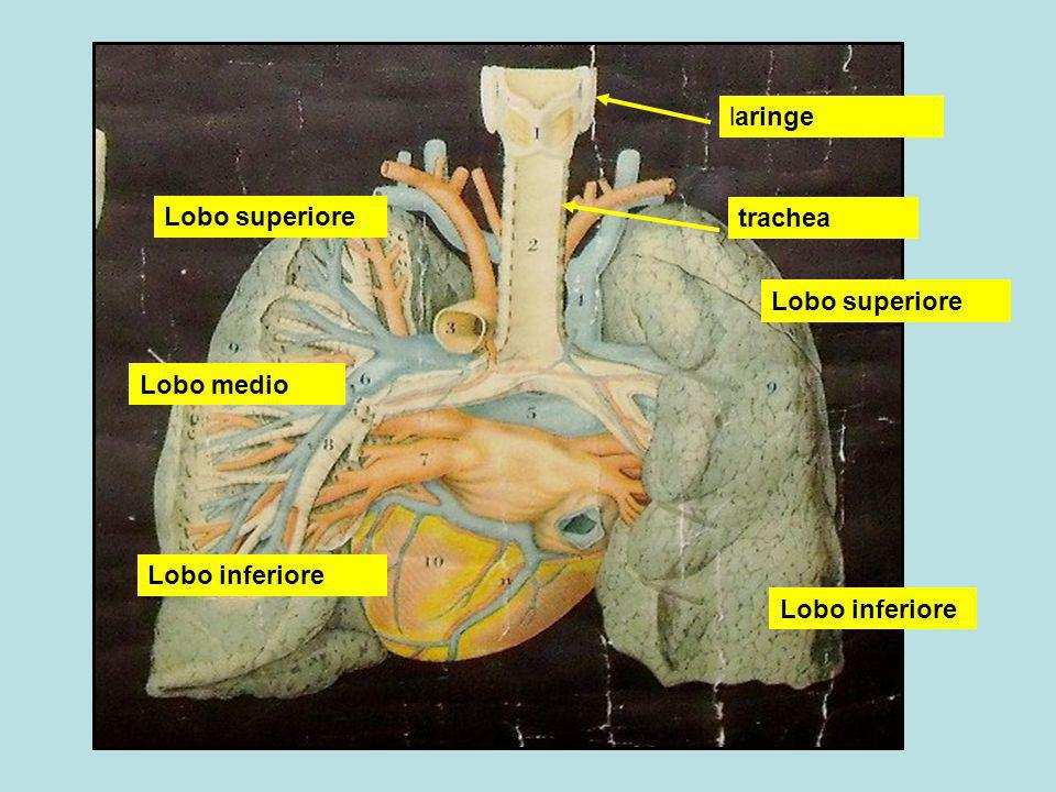 laringe Lobo superiore trachea Lobo superiore Lobo medio Lobo inferiore Lobo inferiore