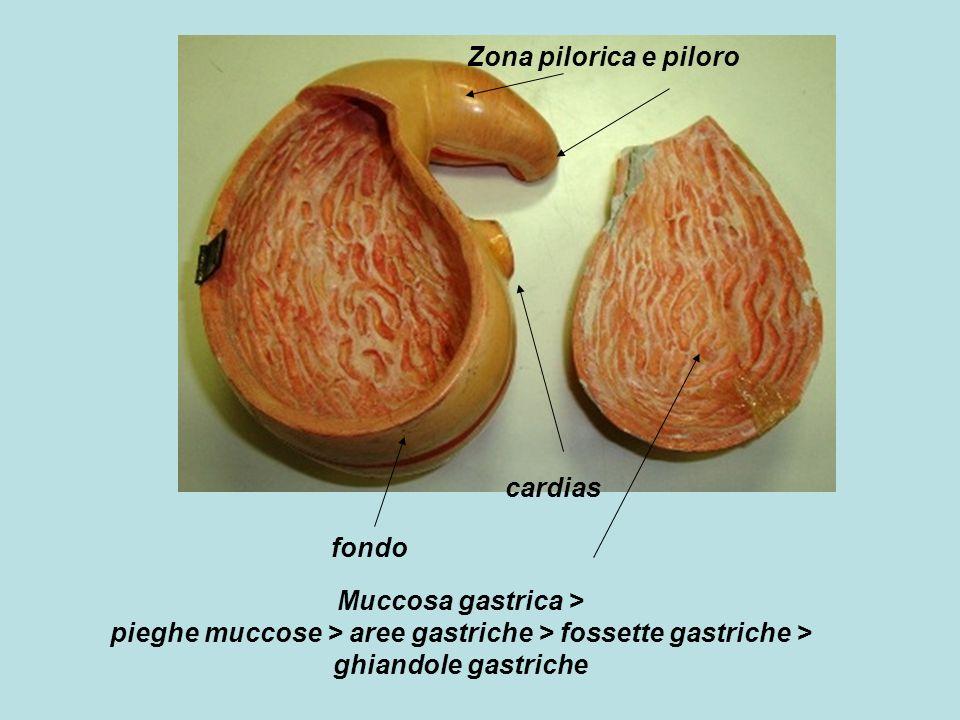 Zona pilorica e piloro cardias. fondo.
