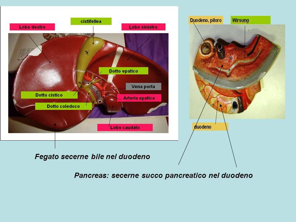 Fegato secerne bile nel duodeno