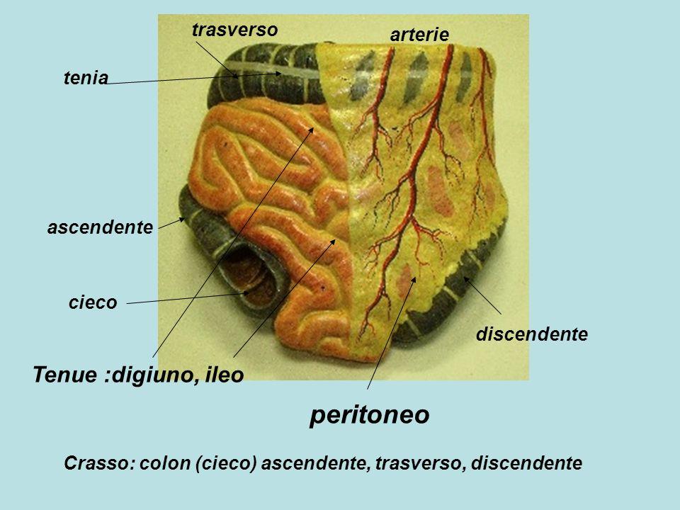 peritoneo Tenue :digiuno, ileo trasverso arterie tenia ascendente