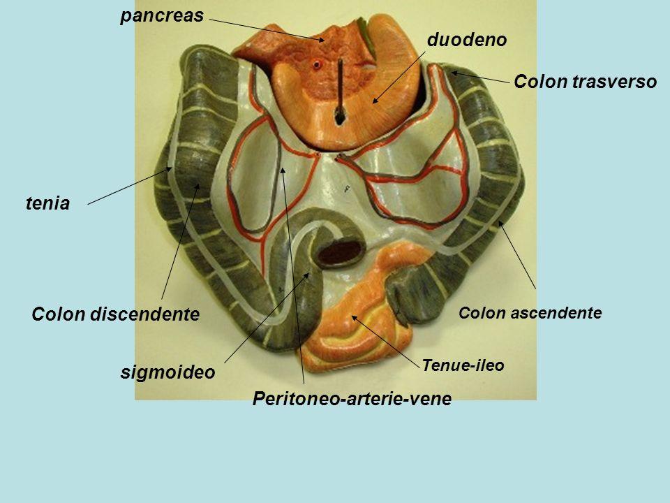 Peritoneo-arterie-vene
