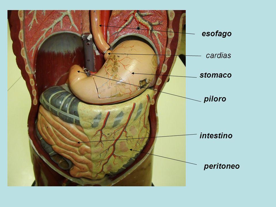 esofago cardias stomaco piloro intestino peritoneo