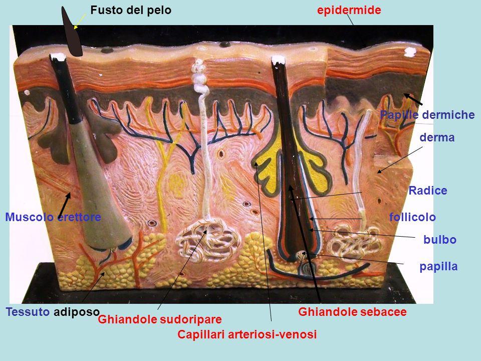 Fusto del peloepidermide. Papille dermiche. derma. Radice. Muscolo erettore. follicolo. bulbo. papilla.
