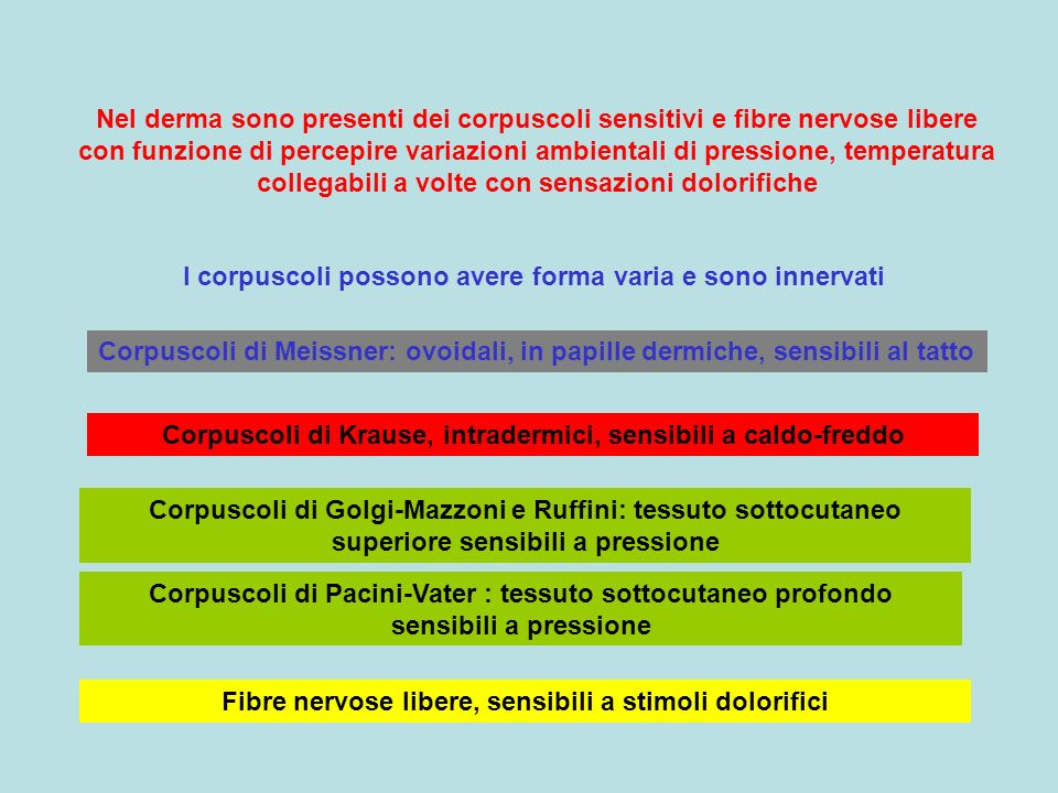 I corpuscoli possono avere forma varia e sono innervati