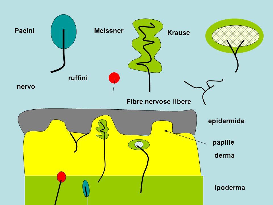 Pacini Meissner Krause ruffini nervo Fibre nervose libere epidermide papille derma ipoderma