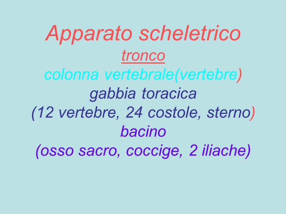Apparato scheletrico tronco colonna vertebrale(vertebre) gabbia toracica (12 vertebre, 24 costole, sterno) bacino (osso sacro, coccige, 2 iliache)