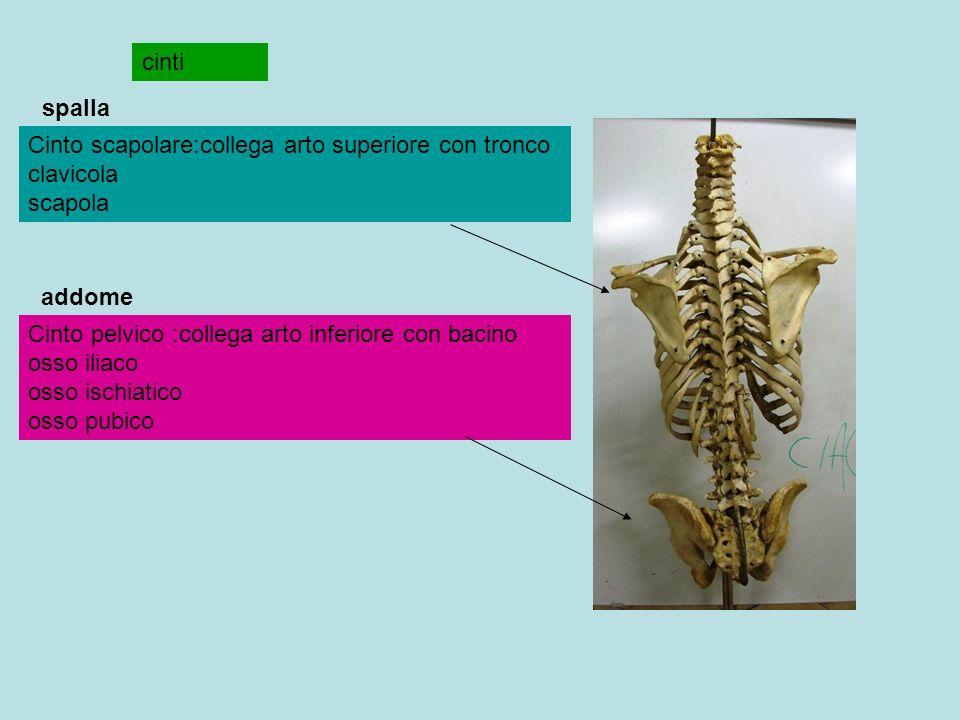 cinti spalla. Cinto scapolare:collega arto superiore con tronco clavicola scapola. addome.