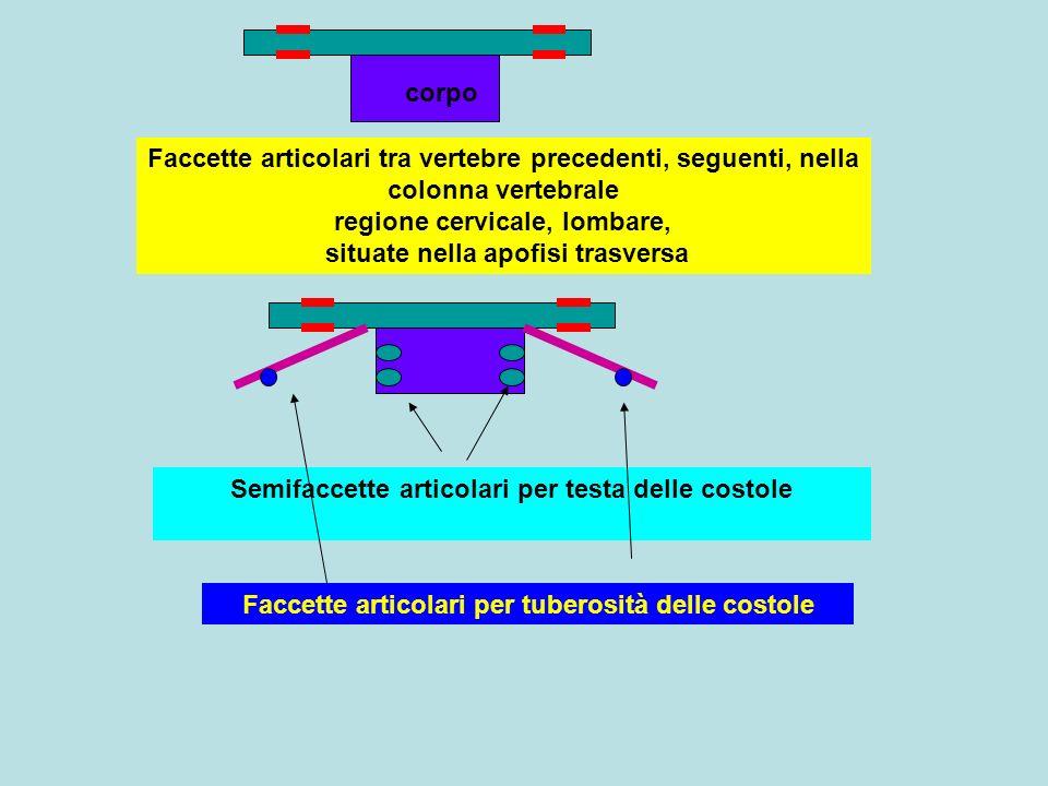 Semifaccette articolari per testa delle costole