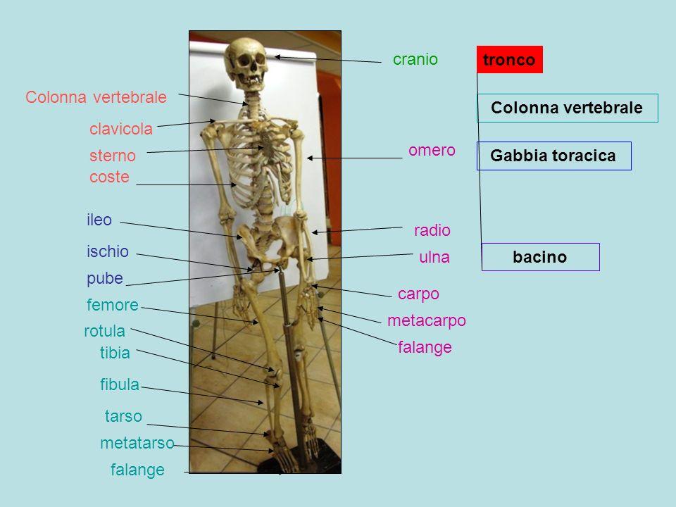 cranio tronco. Colonna vertebrale. Colonna vertebrale. clavicola. omero. sterno. Gabbia toracica.