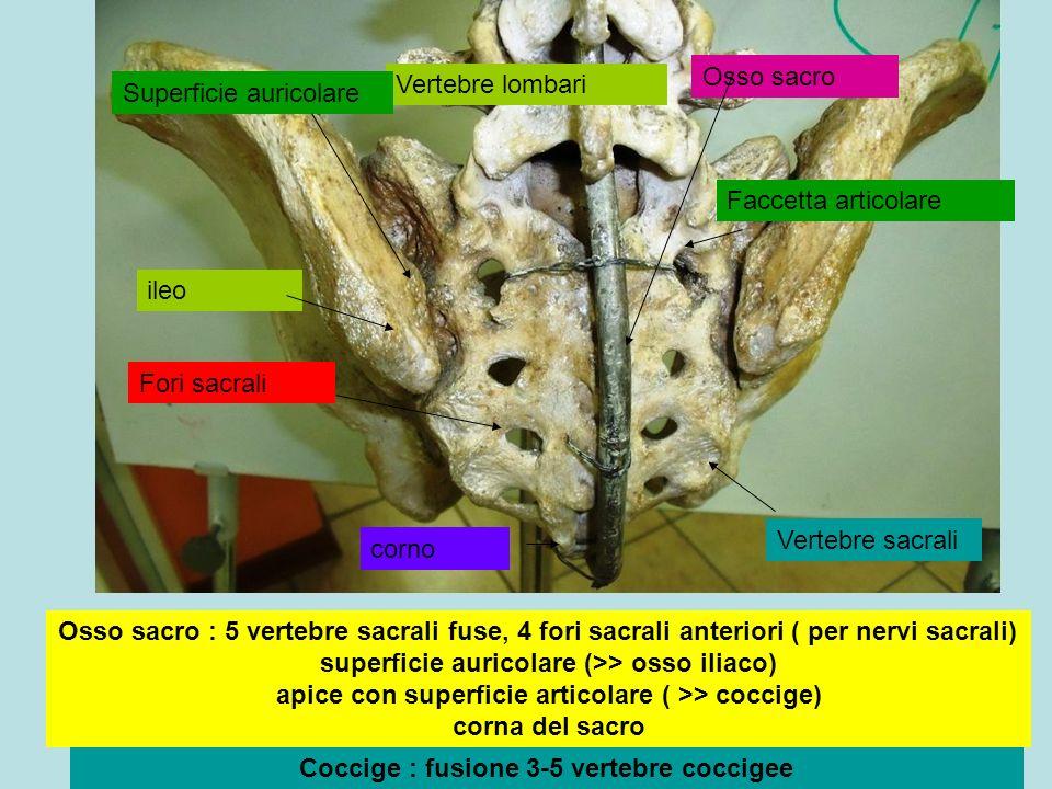 Coccige : fusione 3-5 vertebre coccigee