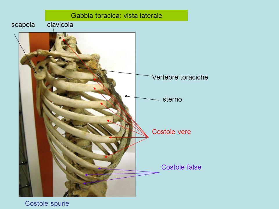 Gabbia toracica: vista laterale