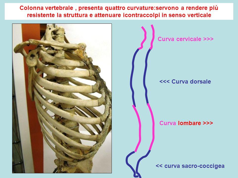 Colonna vertebrale , presenta quattro curvature:servono a rendere più resistente la struttura e attenuare icontraccolpi in senso verticale