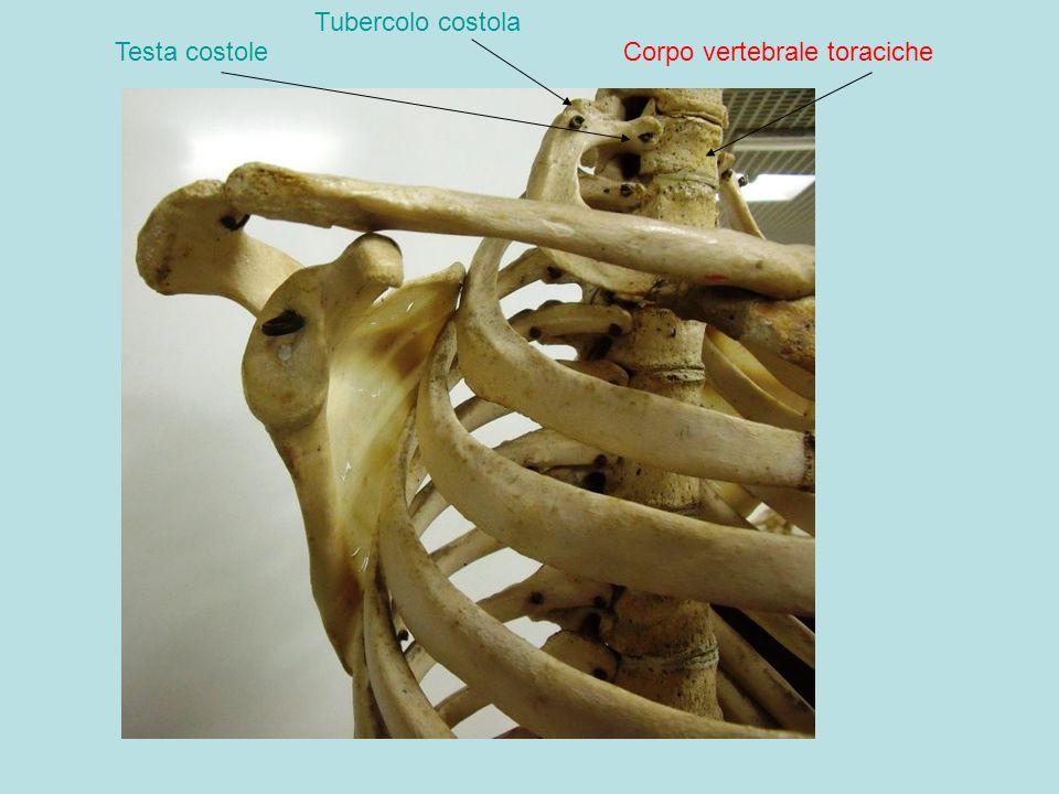 Tubercolo costola Testa costole Corpo vertebrale toraciche