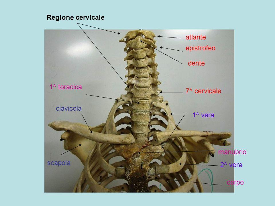 Regione cervicale atlante. epistrofeo. dente. 1^ toracica. 7^ cervicale. clavicola. 1^ vera. manubrio.