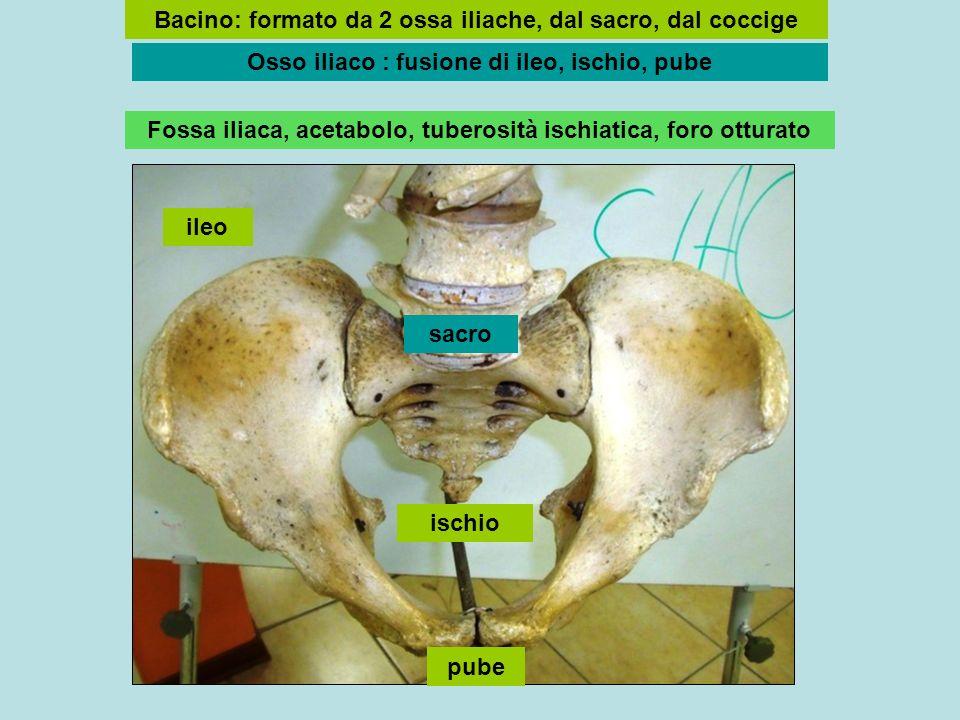 Bacino: formato da 2 ossa iliache, dal sacro, dal coccige