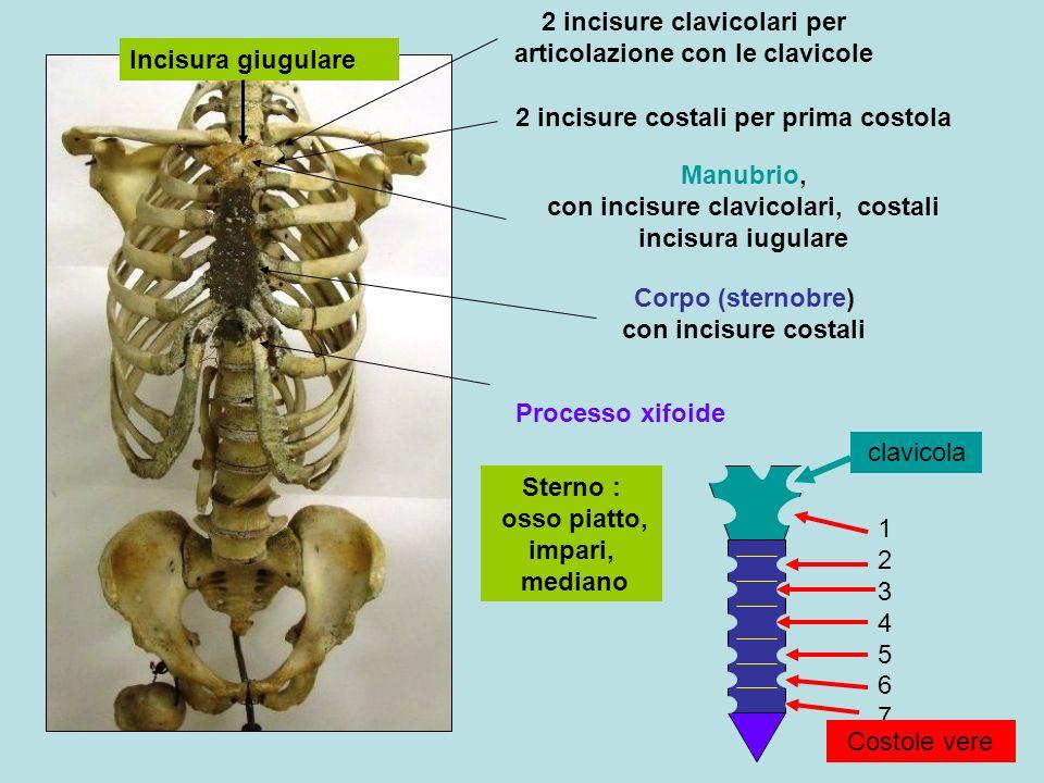 2 incisure clavicolari per articolazione con le clavicole