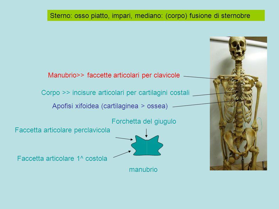 Sterno: osso piatto, impari, mediano: (corpo) fusione di sternobre