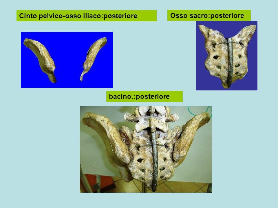 Cinto pelvico-osso iliaco:posteriore