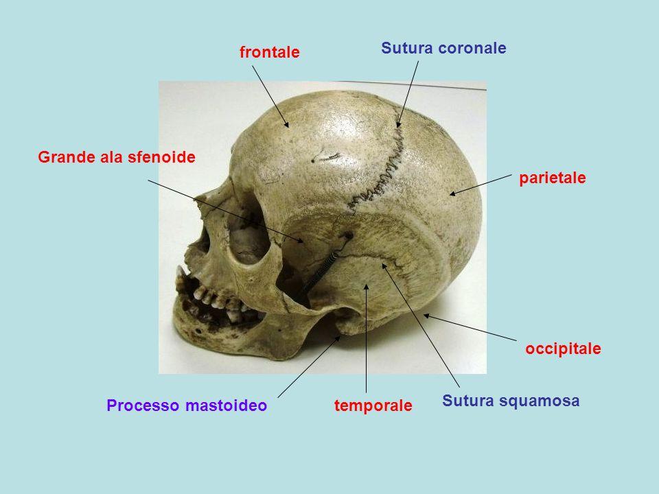 frontaleSutura coronale. Grande ala sfenoide. parietale. occipitale. Sutura squamosa. Processo mastoideo.